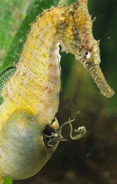 "Amazing! See the little babie seahorses going in & out of the pouch of this Male seahorse. The male of the seahorses take on the role of bing the ""mother""  Kool"