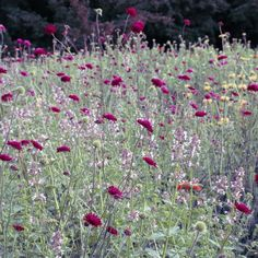 In the perennial meadow gardens at Trentham, with Knautia macedonica and Nepeta 'Dawn to Dusk' Prairie Garden, Meadow Garden, Portland Japanese Garden, Commercial Landscaping, California Garden, Chinese Garden, Red Flowers, Garden Projects, Watercolor Flowers