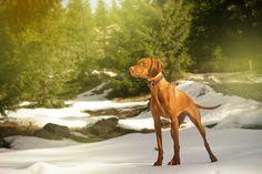 Gyömbér Vizsla, Dogs, Photography, Animals, Animais, Fotografie, Animales, Animaux, Pet Dogs
