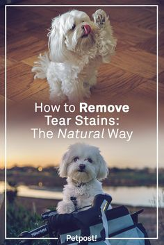 Tear Stain Removal Dogs, Dog Tear Stains, Havanese Puppies, Maltese Dogs, Bichon Frise, Maltese Poodle, Maltipoo, Yorkies, Puppy Face