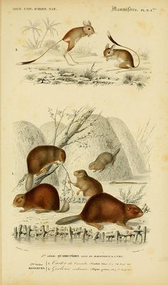 Dictionnaire Universel d'Histoire Naturelle  -  1847-49                                                                                                                                                     Plus