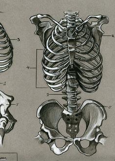 Drawing Human Anatomy Human skeletal anatomy by - Human Skeleton Anatomy, Human Anatomy Drawing, Human Figure Drawing, Human Anatomy For Artists, Anatomy Sketches, Art Sketches, Art Drawings, Drawing Faces, Bone Drawing