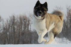 American Akita #dog #akita #animal