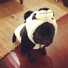 pug in a panda costume