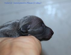 Litter V in the Sunnymoon Place kennel. Italian Greyhound puppies available. Italian Greyhound Puppies, Labrador Retriever, Dogs, Animals, Labrador Retrievers, Animales, Animaux, Doggies, Animais