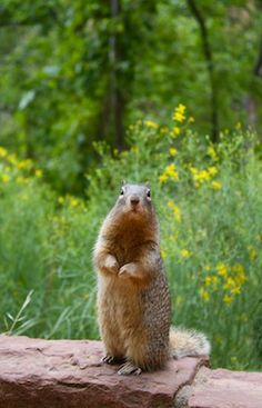 Cute squirrel on one of the hiking trails in Zion. Click through for Zion tips!