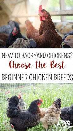 New to Backyard Chickens? Choose the Best Beginner Chicken Breeds (and a few to avoid your first year) Best Egg Laying Chickens, Raising Backyard Chickens, Baby Chickens, Keeping Chickens, Backyard Farming, Backyard Poultry, Leghorn Chickens, Best Chicken Coop, Chicken Coops