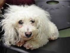 SAFE RTO 5-31-2015 --- SUPER URGENT Brooklyn Center ISIS – A1037928  FEMALE, WHITE, BICHON FRISE MIX, 10 yrs OWNER SUR – EVALUATE, HOLD FOR ID Reason NO TIME Intake condition EXAM REQ Intake Date 05/29/2015