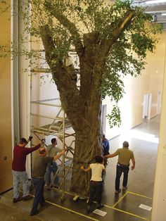 A tree for the 2007 play THE HOME PLACE being moved from the Scene Shop, through the production link, to the proscenium stage.