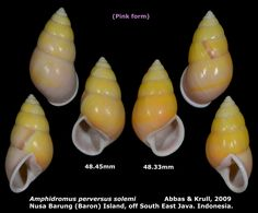https://flic.kr/p/uxU9PE | Amphidromus perversus solemi 48.33 & 48.45mm | Phylum: Mollusca 軟體動物門 Class: Gastropods 腹足綱 Family: Camaenidae 南亞蝸牛科 Scientific name: Amphidromus perversus solemi Chinese name: Author: Abbas & Krull, 2009 Size: 48.33 & 48.45mm Description: (Pink form) On bushes and trees, Nusa Barung (Baron) Island, off South East Java. Indonesia. March, 2015.  More detail photo, please click the following link.