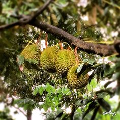 Durian: the king of fruit ✨ Either you like it or you dont   #durian #tree