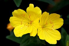 Many moms and midwives use evening primrose oil (EPO) for cervical ripening. What evidence exists on the effectiveness and safety of EPO?