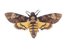 Death's head Hawk-Moth  This will be my next tattoo!
