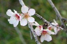 Badem ( Almond )