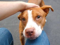 CHAMP - ID#A1009069  I have been adopted!  I am an unaltered male, tan and white Pit Bull Terrier mix.  The shelter staff think I am a...