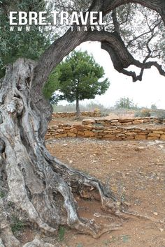 The legacy of our old #olive trees. #TerresdelEbre El llegat de les nostres velles #oliveres. #TerresdelEbre. L'héritage de nos vieux #oliviers. #TerresdelEbre. El legado de nuestros viejos #olivos. #TerresdelEbre. http://www.ebre.travel