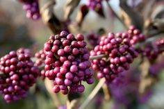 Callicarpa, la pianta invernale nota per le caratteristiche bacche viola #piante #giardino #inverno #winter #garden #purple #berries