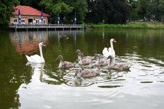 Schwanenfamilie-am-Lietzensee-Foto-aktion-tier.jpg (405×270)