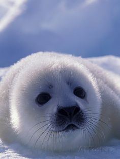 animals wild Amazing Wild Animals: Harp Seals - Fun facts and beautiful photos of harp seals Baby Wild Animals, Wild Animals Photos, Cute Baby Animals, Animals And Pets, Funny Animals, Mercy For Animals, Harp Seal Pup, Baby Harp Seal, Baby Seal