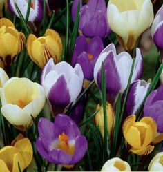 Snow Species Crocus Bulbs are cold hardy and begin to emerge even if there is…