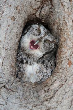 "featheroftheowl: "" Eastern Screech Owl Yawns by Matt Stratmoen, via Jennifer Justin "" Beautiful Owl, Animals Beautiful, Cute Animals, Owl Photos, Owl Pictures, Kinds Of Birds, Love Birds, Strix Nebulosa, Screech Owl"