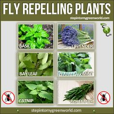 Must plant some of these ASAP for the fly problem here!  -KWA