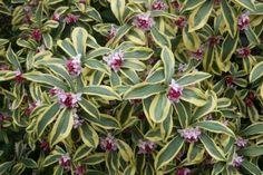 evergreen shrubs - Google'da Ara