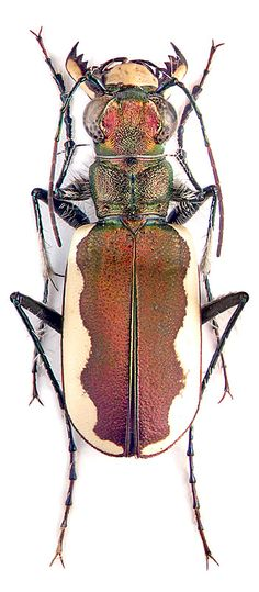 This longhorn beetle reminds me of a brown and white dairy cow. http://www.zin.ru/Animalia/Coleoptera/eng/index.html