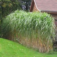 Semences miscanthus giganteus miscanthus pinterest for Giant ornamental grass