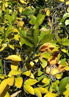 52 best plant problems yellow leaves images on pinterest yellow this is a good article on what the leaf changes tell you about the health of mightylinksfo
