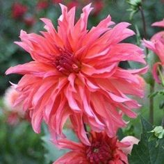 Dahlia décoratif 'Giraffe rose®' (lot de 2) - Label Rouge