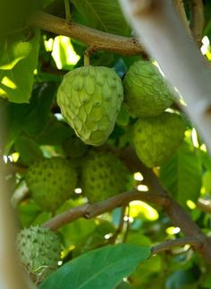 The scoop on cherimoya, the ice cream fruit #frutas
