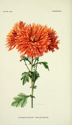 Chrysanthemum 'Nellie Blake.' Illustration by Mary E. Eaton from 'Addisonia' (1924). New York Botanical Garden archive.org