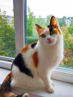 Cute Baby Cats, Cute Cats And Kittens, Cute Baby Animals, Kittens Cutest, Tabby Kittens, Pretty Cats, Beautiful Cats, Bobtail Japonais, Gato Calico
