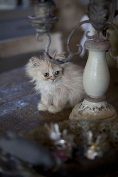 A shabby chic cat?  It does exist