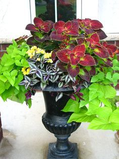 Shade container plants, sweet potato vine, yellow impatiens, red jew and burgundy coleus
