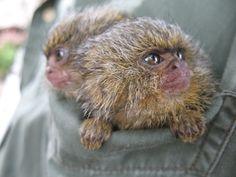 Sólo dos monos de bolsillo en el bolsillo  En esta fotografía se puede apreciar el pequeño tamaño de los monos de la especie Callithrix pygmaea.  Son conocidos comunmente como tití pigmeo, chichico o mono de bolsillo.