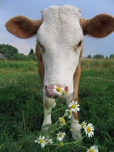 wild daisies and cow