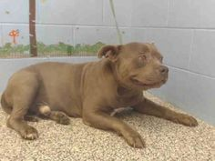 American Pit Bull Terrier Mix Dog FOR ADOPTION in San Bernardino, CA. Gender: Male. Age: Adult. Nickname: CROOK on Wheaten Terrier Mix, Chihuahua Terrier Mix, Bull Terrier Mix, Pitbull Terrier, Frenchton Dog, Puppy Finder, Norwich Terrier, American Pit, Pit Bull