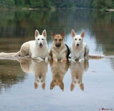 Wicked Training Your German Shepherd Dog Ideas. Mind Blowing Training Your German Shepherd Dog Ideas. Cute Puppies, Cute Dogs, Dogs And Puppies, Doggies, Big Dogs, I Love Dogs, Beautiful Dogs, Animals Beautiful, Amazing Dogs