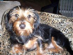 DORKIE Dashound/Yorkie Mix on Pinterest | Yorkie, Dachshund and Puppys