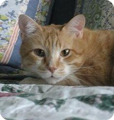 St.Ann, MO - Domestic Shorthair. Meet Meyer, a cat for adoption. http://www.adoptapet.com/pet/11445297-stann-missouri-cat