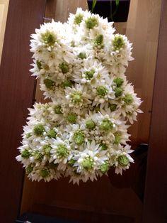 Estrella de Belen Plants, Nativity Scenes, Stars, Plant, Planets