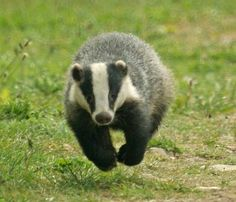 The Wildlife Trusts believe that measures to address the disease in cattle should be at the centre of efforts to tackle bovine tuberculosis (TB), alongside a strategic programme of badger vaccination, not badger culling. Wild Creatures, Woodland Creatures, Woodland Animals, Majestic Animals, Unique Animals, Cute Animals, Odd Animals, Carnivore, Honey Badger