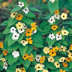 Image result for black eyed susan susie mixed