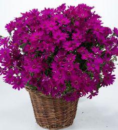 Senetti 'Primavera Fuchsia' Plants, Garden Planning, Plant, Planets
