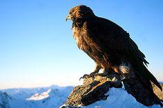 Die Steinadler erobern ihren Lebensraum in den Alpen langsam zurück. In den Hohen Tauern leben derzeit 38 bis 40 Paare. Jeder tote Greifvogel hat drastische Auswirkungen.