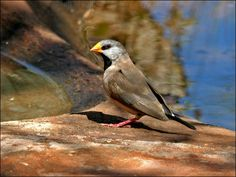 Long-tailed Finch photo image: long_tailed_finch_09458.psd