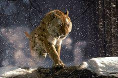 sabretooth tiger in the snow Prehistoric Creatures, Mythical Creatures, Sabretooth Tiger, Vida Animal, Tiger Wallpaper, Gato Grande, Extinct Animals, Fauna, Beautiful Cats
