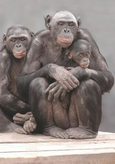 This is a photo taken by the famous Marian Brickner. She has taken this photo of the Bonobos Family with Lucy. Lucy has been monitored by photographs through her entire life span by Ms. Brickner. This
